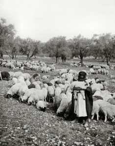 Sheep with their shepherd, mat01285