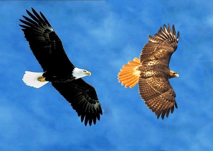 Image result for eagle and hawk