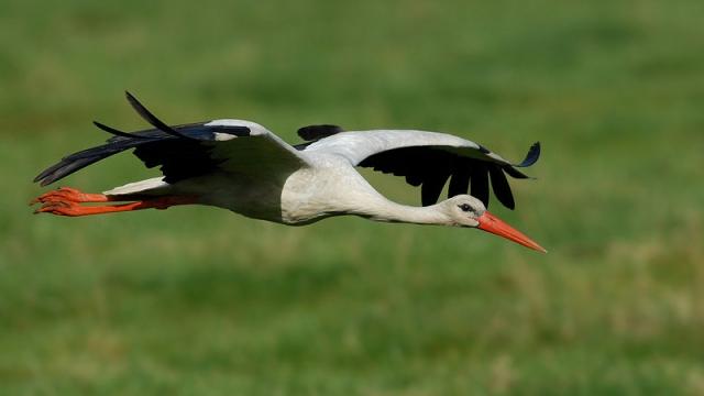 stork white Israel